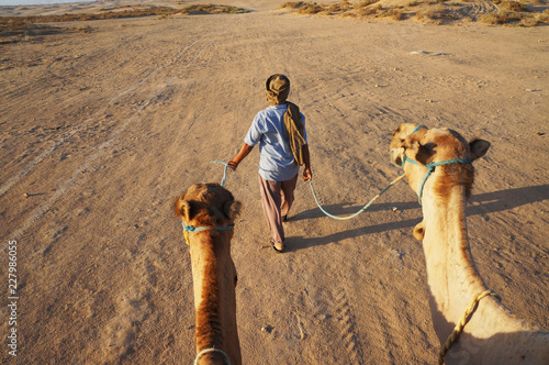 Fotografering  Camels follow the driver in early morning in desert