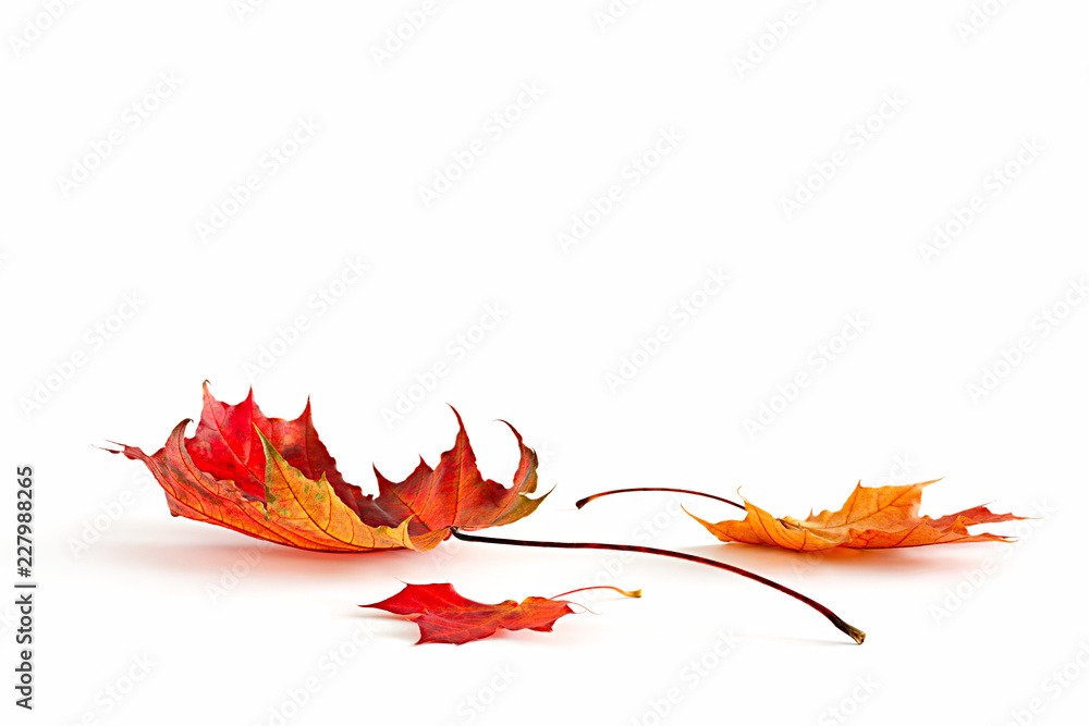 Fototapety, obrazy: Isolated autumn leaves