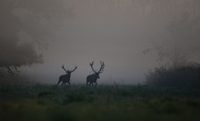 Two Red Deer In Forest In Fog