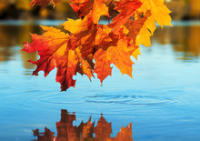 Natural Beautiful Background With A Maple Branch With Bright Yellow And Orange Leaves Bent Over A Blue Pond On A Clear Autumn Day