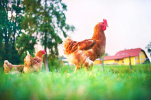 Chickens Walk Free Around The Farmyard In The Meadow