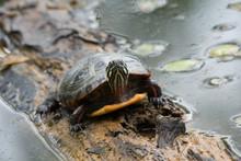 Painted Turtle 4
