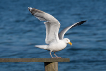 Seagull In Takeoff