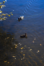 Wild Ducks Swims In The Cold Blue Pond With Autumn Yellow Leaves In Water. Seasons. Concept Of Fall. Modern Background, Wallpaper Or Banner Design