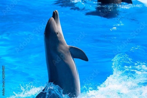 Portrait of dolphin performing in a dolphin show Canvas Print