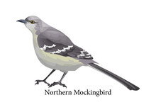 Northern Mockingbird Realistic...