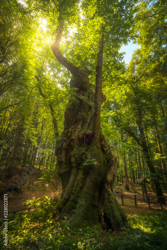Big and secular chestnut tree in Casentino forest. Tuscany, Italy.