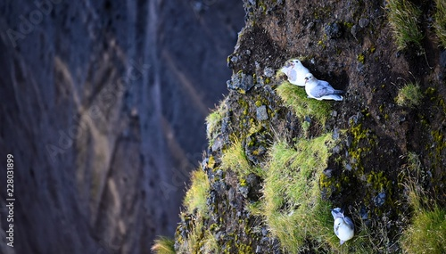 Angry seagulls protecting their nests on a cliff in southern Iceland