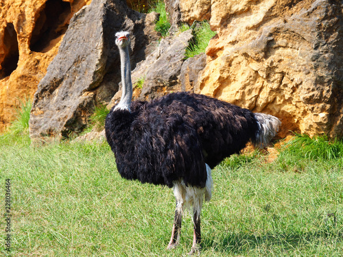 Spoed Foto op Canvas Struisvogel View of a cute ostrich