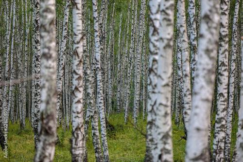 Printed kitchen splashbacks Birch Grove Birch forest in central Russia
