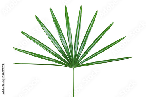Canvas Prints Palm tree Green Leaf of Lady Palm Plant Isolated on White Backgroud