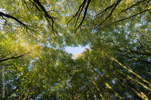 Photo  Looking up through broadleaf trees in dense woodland in Autumn.