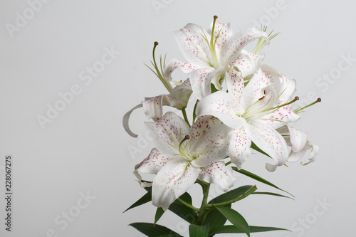 A branch of delicate white lilies isolated on a gray background.