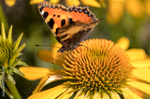 Fotografering  Painted Lady (Vanessa cardui), butterfly feeding on Black eyed Susan(Rudbeckia h