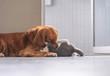 Golden Retriever and Kitten