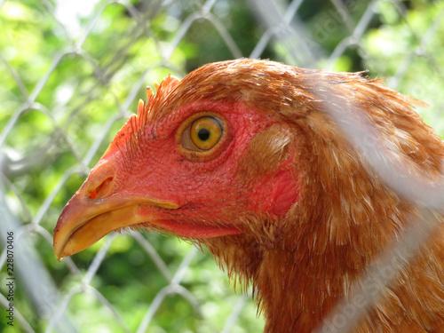 Chicken portrait. Beautiful hen, view through wire mesh