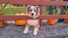 Dog On A Farm With Halloween P...