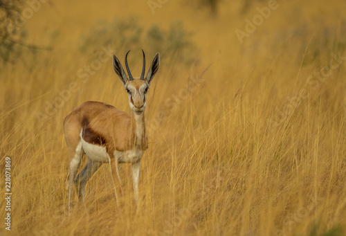 A springbok ewe hides in the tall grass on the African plain image with copy space in landscape format