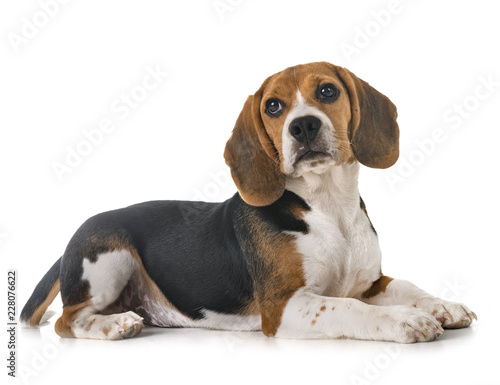 puppy beagle in studio Canvas Print