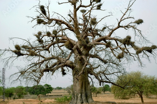 Canvas Baobabs et nids en brousse, Burkina Faso, Afrique