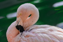 Chilean Flamingo Head Portrait (Phoenicopterus Chilensis) With Sunlight And Green Lagoon Water Background