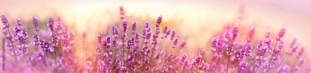 Fototapety, obrazy: Soft and selective focus on lavender flower, beautiful lavender in flower garden