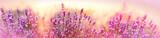 Fototapeta Kwiaty - Soft and selective focus on lavender flower, beautiful lavender in flower garden