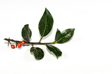 Branch With Red Berries Isolated On White Background
