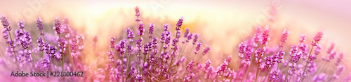 Fototapeta Soft and selective focus on lavender flower, beautiful lavender in flower garden obraz