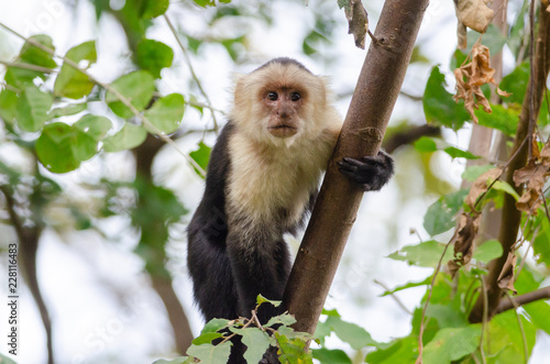 White-headed Capuchin (Cebus capucinus) in Palo Verde National Park, Costa Rica Tablou Canvas