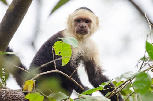 Fotografering  White-headed Capuchin (Cebus capucinus) in Palo Verde National Park, Costa Rica