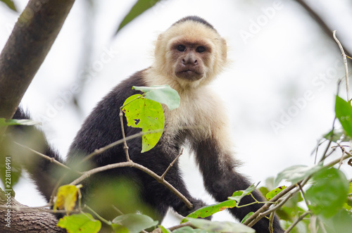 Fényképezés  White-headed Capuchin (Cebus capucinus) in Palo Verde National Park, Costa Rica