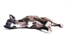 Bull Terrier Lying Down Isolated On White