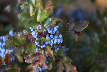 Blue Berries And Green Leaves,...