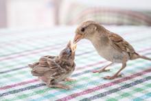New Born Sparrow Bird Babies. Feeding Each Other. Cute Baby Bird Of House Sparrow.