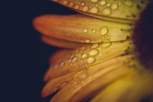 Close Up Of Water Drops On Sunflower