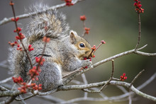 Side View Of Squirrel Eating F...