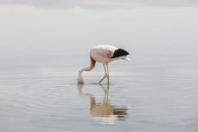 Side View Of Flamingo's Head I...