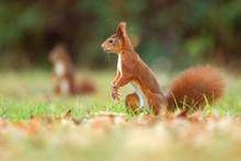 Eurasische Eichhörnchen- Sciu...