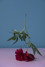 Close-up Of Flowers On Table Against Blue Background