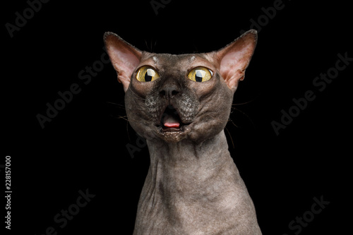 Fotografía  Portrait of Afraid Old Sphynx Cat, opened toothless mouth and Stare with Huge ey