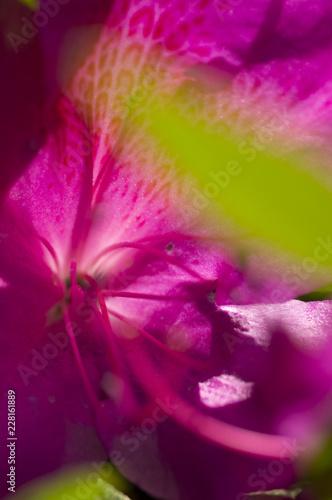 赤色のツツジの花弁のアップ
