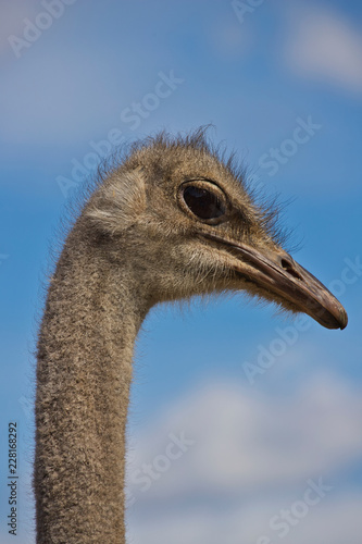 Foto op Plexiglas Struisvogel Close-up of head details South African female common ostrich (Struthio camelus)