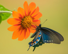 Pipevine Swallowtail Feeding On A Mexican Sunflower