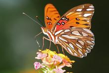 Gulf Fritillary Butteryfly Fee...