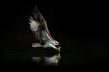 Osprey Dive IX