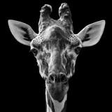 Fototapeta Zwierzęta - Reticulated Giraffe