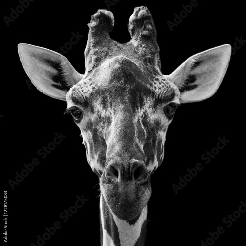 Deurstickers Giraffe Reticulated Giraffe