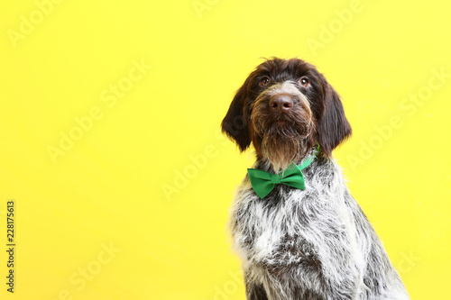Photo German pointer dog with bow tie on yellow background