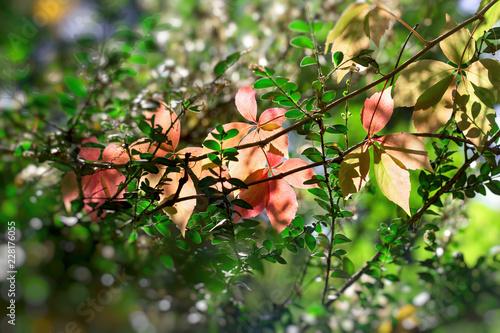 Fotografiet Beautiful nature in autumn, beautiful autumn leaves lit by sunlight